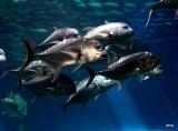 crevally at the aquarium