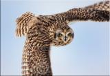 short-eared-owl.jpg