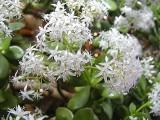 Jade Plant Blossoms