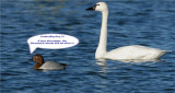 Tundra Swan and Canvasback