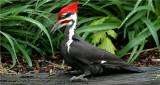 Pileated Woodpecker #58