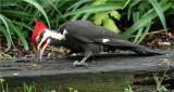 Pileated Woodpecker 59