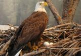 Bald Eagle - Blackwater Visitor Center
