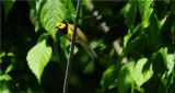 Hooded Warbler (Wilsonia citrina)