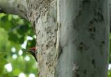 Pileated Woodpecker 51.JPG