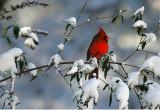 Northern Cardinal - Happy Holidays !!!