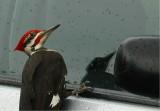Pileated Woodpecker 53.JPG