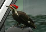 Pileated Woodpecker 54.JPG