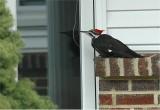 Pileated Woodpecker 55