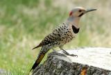 Northern Flicker - Male (Colaptes auratus)
