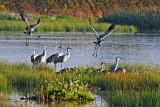 Sandhill Cranes of Lodi CA.jpg