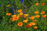 Poppies Blue Bells Lupins.jpg