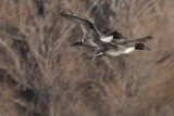 Flight of the Pintail