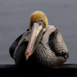Behold, the Pelican