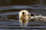 Sea Otter at Moss Landing
