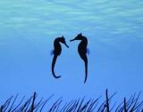 Dancing Seahorses