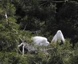 Great American Egrets