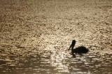 White Pelican - Sunrise Swim on San Pablo