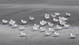 Race of the Sandpiper