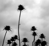 Thistles - Wild Artichokes