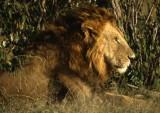 Lion King, Kenya