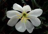 White Flower, Lake Powell