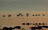 Candian Geese at Sunset