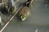 Bosque Frog