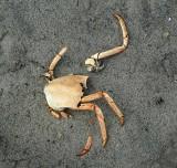 Santa Barbara Crab - As Art