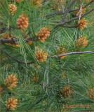 Pine Cones of the Future