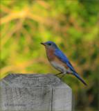 Bluebird Star