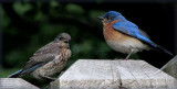 Daughter and Dad Bluebird