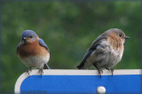Mom and Dad - Bluebirds