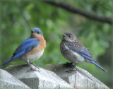 Bluebird Dad and Son
