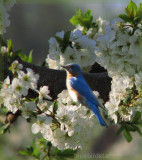 Bluebird in Apple Blossoms
