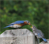 Bluebird Dad Feeding Daughter