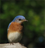 Bluebird Star Father