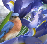 Bluebirdstar