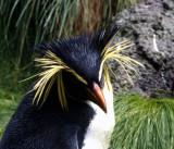 Bashful Rockhopper Penguin.jpg