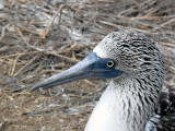 Blue-footed Booby Female