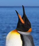 Bugling King Penguin