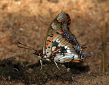 Pearl-spotted Emperor - Charaxes jahlusa