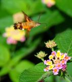 African Humming Bird Moth - Macroglossum trochilus