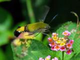 Common Bee Hawk Moth - Cephonodes hylas virescens