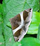 Noctuid Moth - Dysgonia derogans
