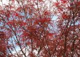13 Spring Maple