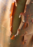 9 Paper Bark Maple