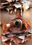 12 Paper Bark Maple 2