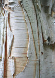 13 Himalayan Birch Bark 2