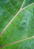 Green Leaf, Pink Veins